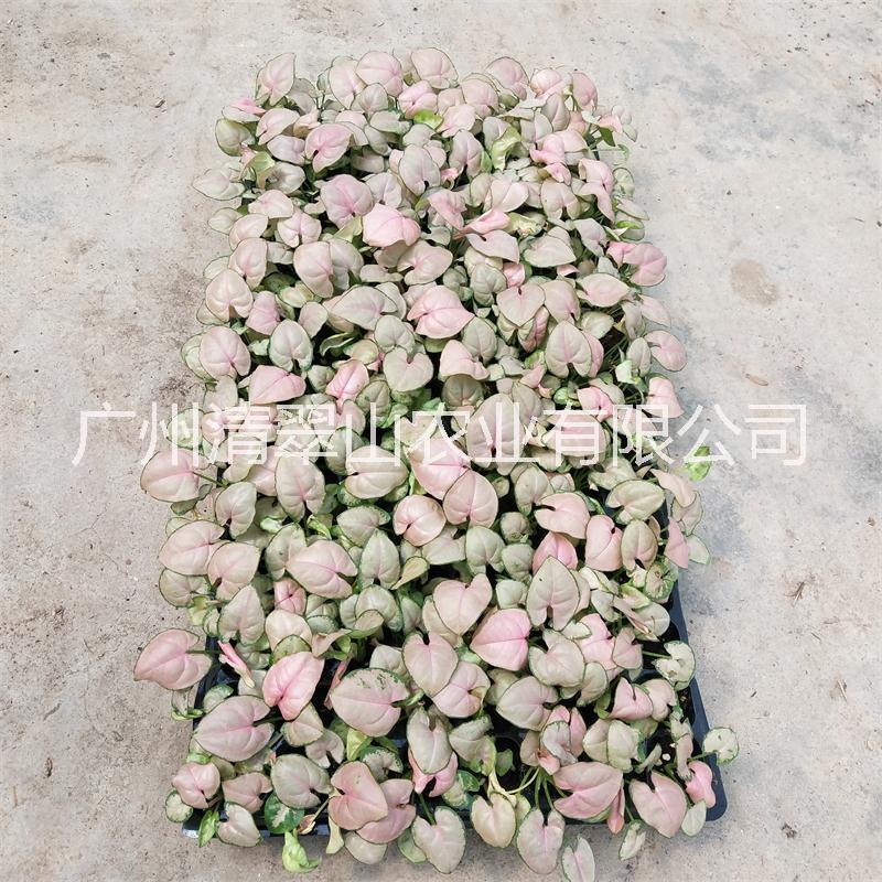 海南菜豆树盆栽花卉室内观叶植物