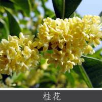 桂花 优质桂花小乔木灌木 传统名花植物 多种规格花茶树 欢迎致电