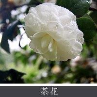 优质茶花 常年大量供应茶花类植物 茶花球观赏植株 量大价优欢迎致电