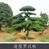 造型罗汉松 家具器具等易加工木料 常绿针叶乔木罗汉松 量大价优