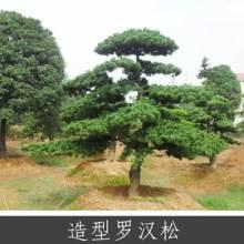 造型罗汉松 家具器具等易加工木料 常绿针叶乔木罗汉松 量大价优批发