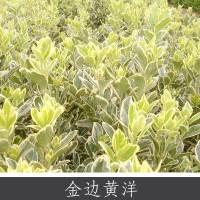 金边黄洋 金边冬青卫矛绿灌木小乔木 基地价优惠批发优质药用植物