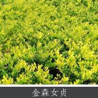 供应金森女贞 生长迅速耐修剪园林绿篱植物 大型灌木哈娃蒂女贞直销