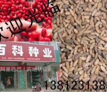 出售新采优质种子 山茱萸种子 出芽率高 保质保量 可货到付款图片