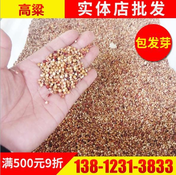 东北红高粱种子出售 沭阳红高粱种子供应 沭阳红高粱种子批发