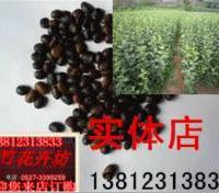 出售果树种子 苹果种子 苹果大小苗 出芽率高 保质保量 货到付款