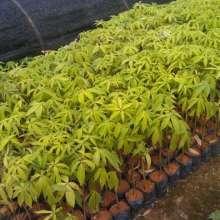 木棉苗 木棉苗批发 木棉苗供应商图片