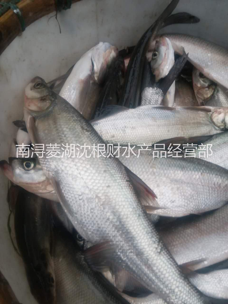 【钓鱼场】白条鱼 白条鱼(翘嘴红鲌) 1-3斤 每周都有拉网 需要的钓场联系我 白条鱼(翘嘴红鲌) 1-3斤