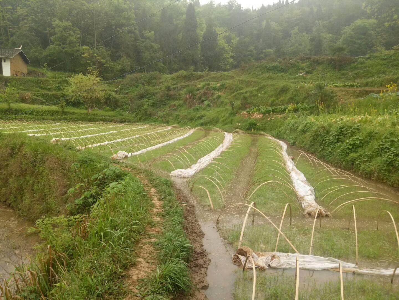 福满锅系列茶山大米