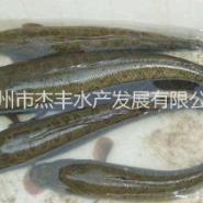 黑鱼苗图片