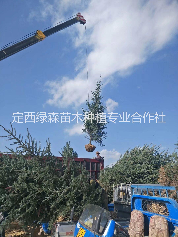 甘肃云杉,造林树苗 甘肃云杉最多吗  甘肃云杉1米2米3米|云杉