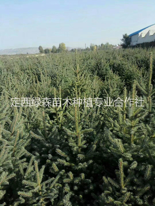 甘肃云杉2米2.2米,,甘肃青扦云杉3米4米绿化 甘肃青扦云杉2米3米4米绿化