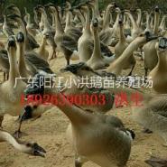 阳江大种鹅苗价格图片