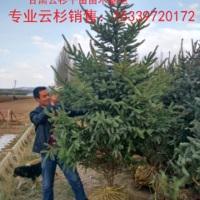 甘肃云杉产地、1米云杉、 甘肃云杉,  甘肃云杉产地、1米2 米云杉育苗