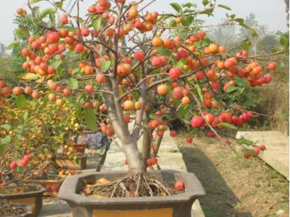 果树盆景 盆景 果树盆景品种 果树盆景新品种 果树盆景批发 果树盆景