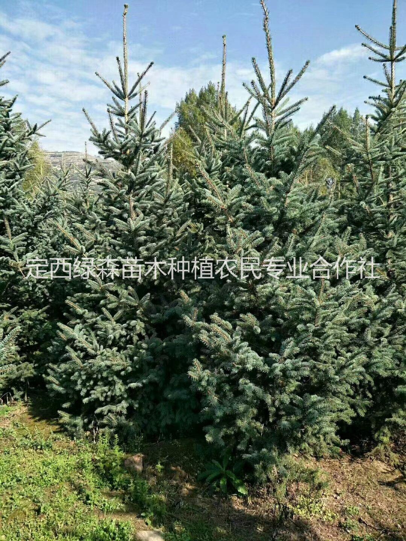 甘肃云杉树苗出售报价 甘肃云杉 云杉哪里有,甘肃1.5米2米3米3.5米云杉