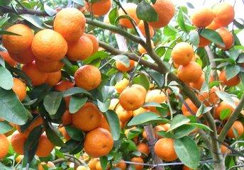 红光橙  红光橙特价出售   红光橙供应电话   广东红光橙出售电话