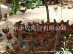 鸡苗 鸡苗批发 广州鸡苗价格 鸡苗供应商批发