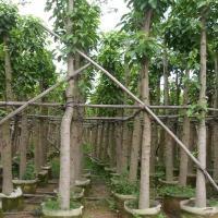 出售广东白玉兰·白玉兰批发价格·买绿化苗木找哪家