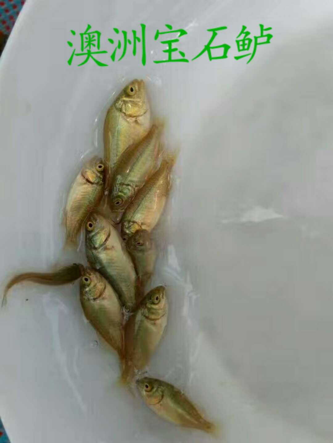 广州澳洲宝石鲈鱼养殖场地  澳洲宝石鲈鱼哪家好 澳洲宝石鲈鱼价格  澳洲宝石鲈鱼厂家直销   澳洲宝石鲈鱼批发