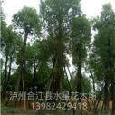 四川香樟树图片