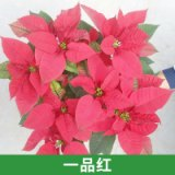 广州天和园艺供应一品红圣诞花办公室摆设装饰园区盆栽 优质花卉直销