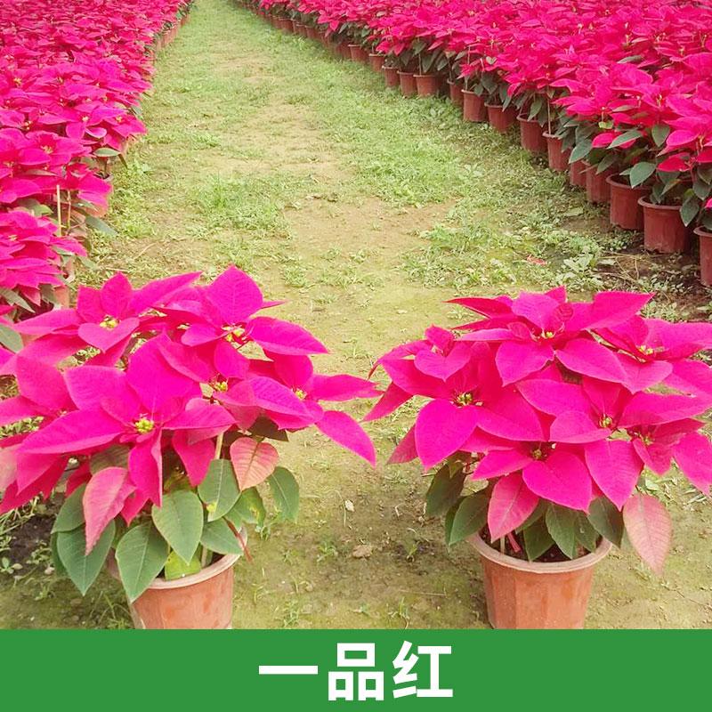 广州天和园艺供应一品红办公室摆设装饰园区盆栽优质花卉直销  一品红 圣诞花