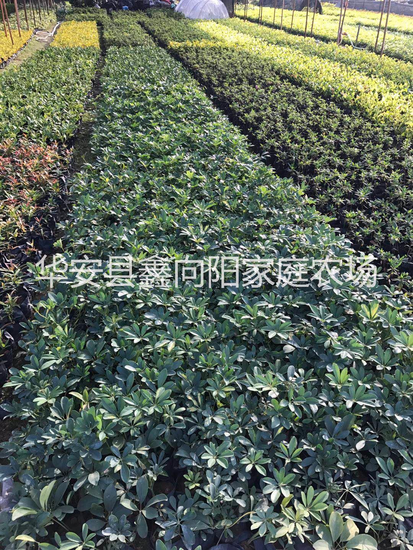 供应鹅掌柴高度20厘米 基地 掌柴小灌丛常绿苗
