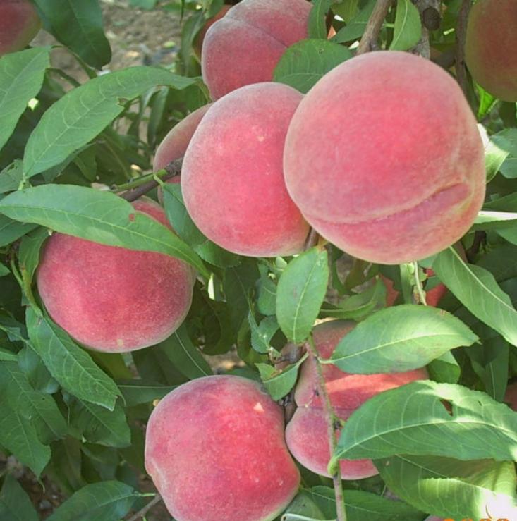 上饶采摘蜜桃脆桃新鲜水果脆桃硬桃非油桃黄桃 采摘桃子