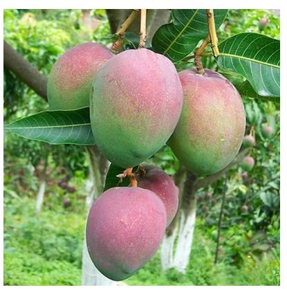 钦州澳洲芒果苗供应商  澳洲芒果苗供应商 澳洲芒果苗厂家   澳洲芒果苗供应商