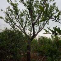 南京果树苗
