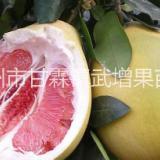 蜜柚 红肉蜜柚苗批发 采购嵊州红肉葡萄苗 嵊州红肉蜜柚苗种植基地