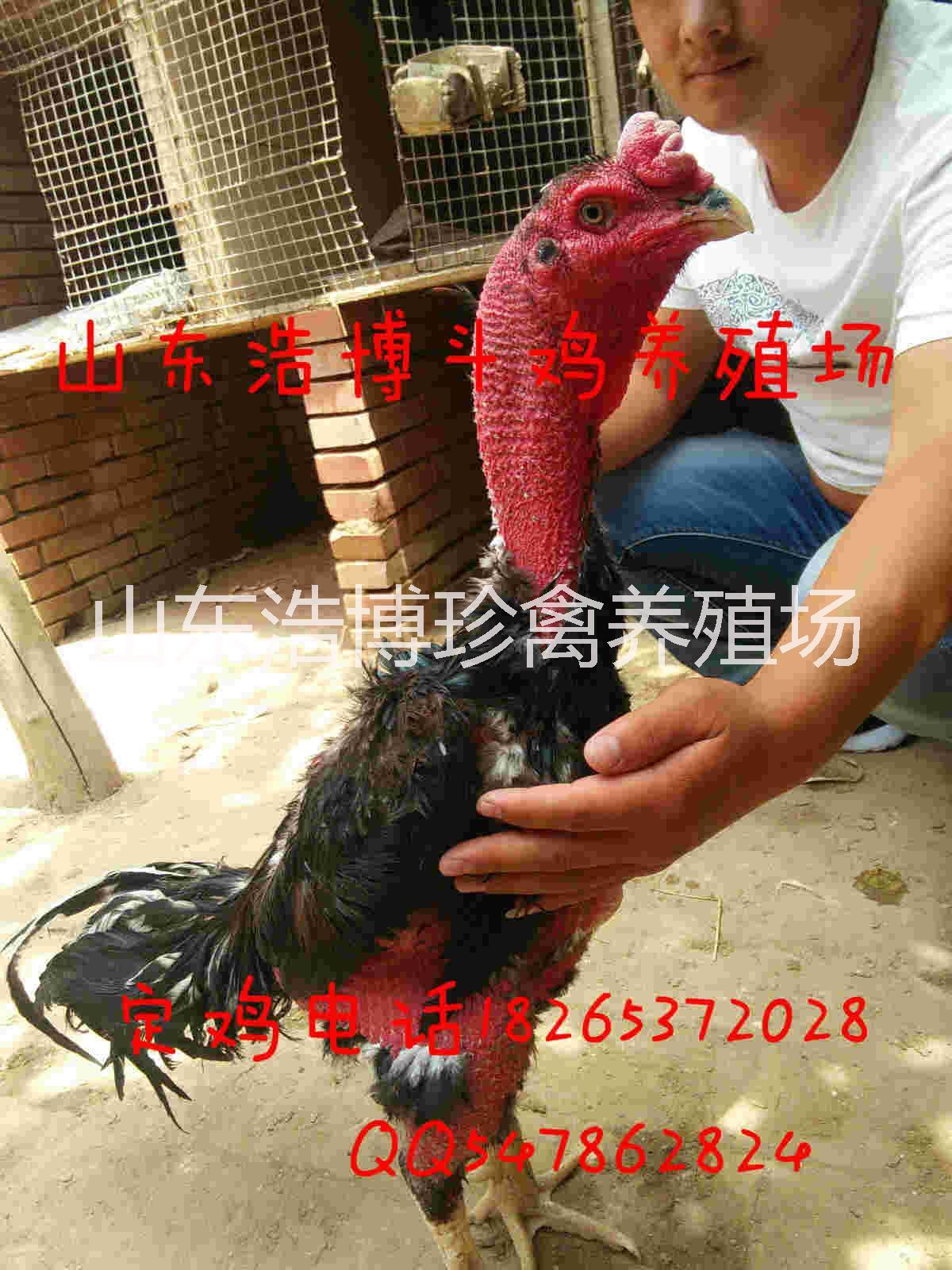 纯种斗鸡价格_贵州越南斗鸡养殖场,鬼子斗鸡价格