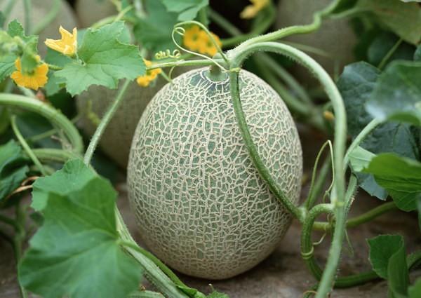 哈密瓜种植基地销售