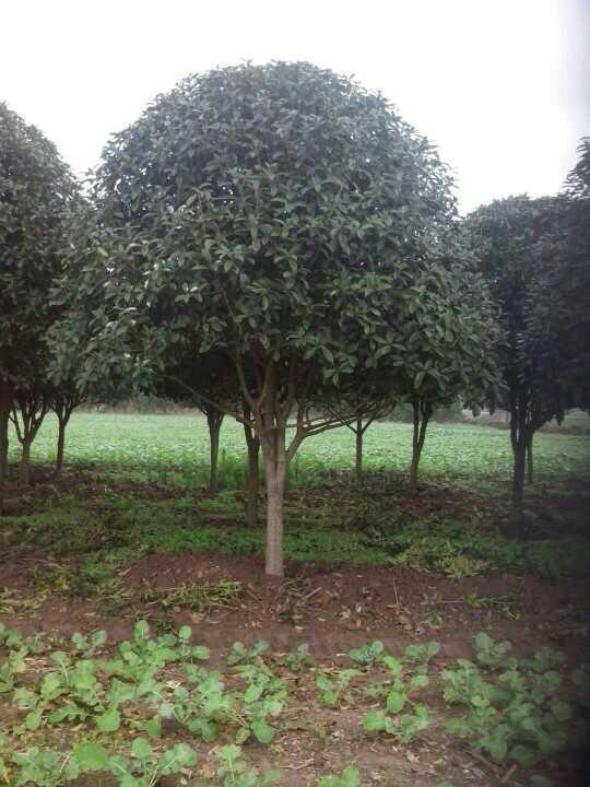 供应湖南十二公分桂花树 十二公分桂花树苗 十二公分桂花树价格