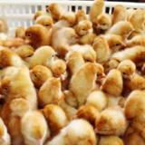 广西家禽养殖 广西家禽养殖厂 广西家禽养殖厂商 广西家禽养殖基地
