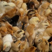 广州家禽 广州家禽价格 广州家禽批发 广州家禽报价 鸡苗批发