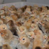 四川孵化鸡苗 四川孵化鸡苗养殖场 四川孵化鸡苗厂商 四川孵化鸡苗厂