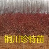 供应冬天里的彩叶树映雪红