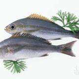 贵州银雪鱼 贵州银雪鱼批发商 贵州银雪鱼供应 贵州银雪鱼养殖基地