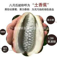 保健水果营养丰富的八月瓜优质苗