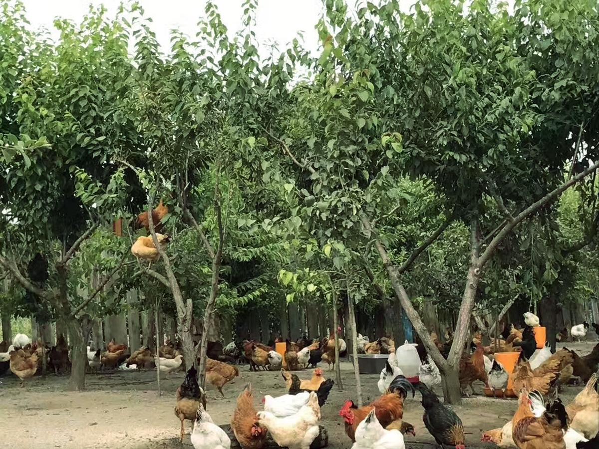 森林鸡销售