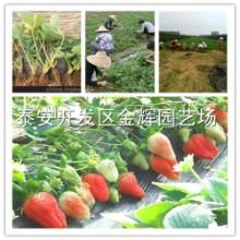 投资大棚甜茶理草莓苗 一亩地需要多少钱 产量怎么样批发