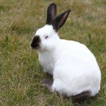 供应八点黑种兔  八点黑种兔养殖价格 伊拉兔采购批发 八点黑种兔 八点黑种兔价格 伊拉兔批发