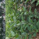 苹果树苗种植基地 苹果树苗批发 质量优质 存活率99%