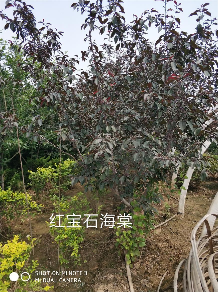 红宝石海棠基地