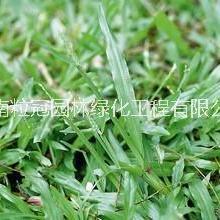 大叶油草 海南出售大叶油草种植基地 大叶油草直销 大叶油草坪价格