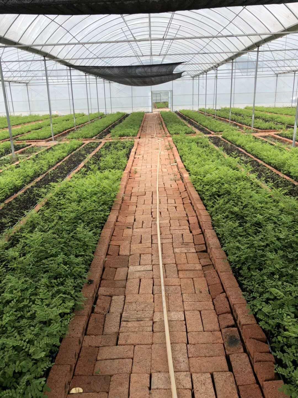 造林新品种---速生槐 速生槐袋苗苗