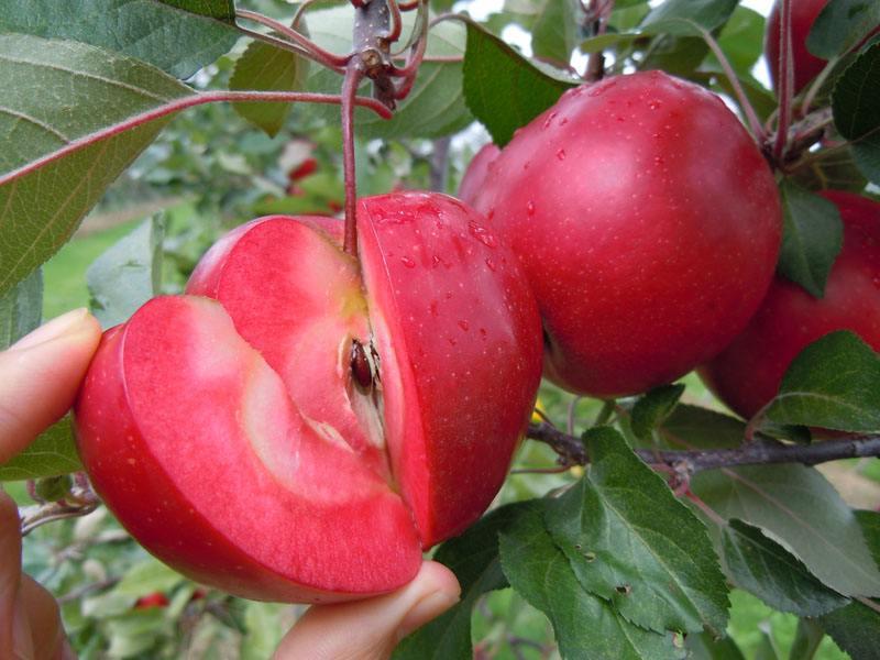 山东红肉苹果苗报价,山东红肉苹果苗供应商,山东红肉苹果苗批发,山东红肉苹果苗出售 泰安红肉苹果苗基地