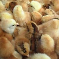 孵化小鸡苗-山东小鸡苗孵化场-山东小鸡苗多少钱-山东小鸡苗价格